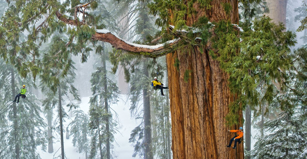 Researchers climbing the enormous sequoia known as The President. (Image credit: Michael Nichols/National Geographic).
