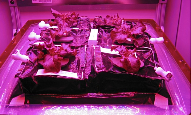 Astronauts aboard the ISS have been growing romaine lettuce. (Image credit: NASA).