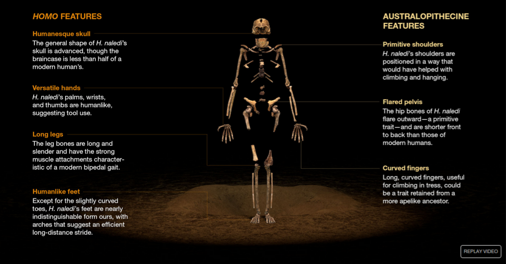Homo naledi is a fascinating mixture of Homo and Autralopithecine traits. (Screengrab from National Geographic video)