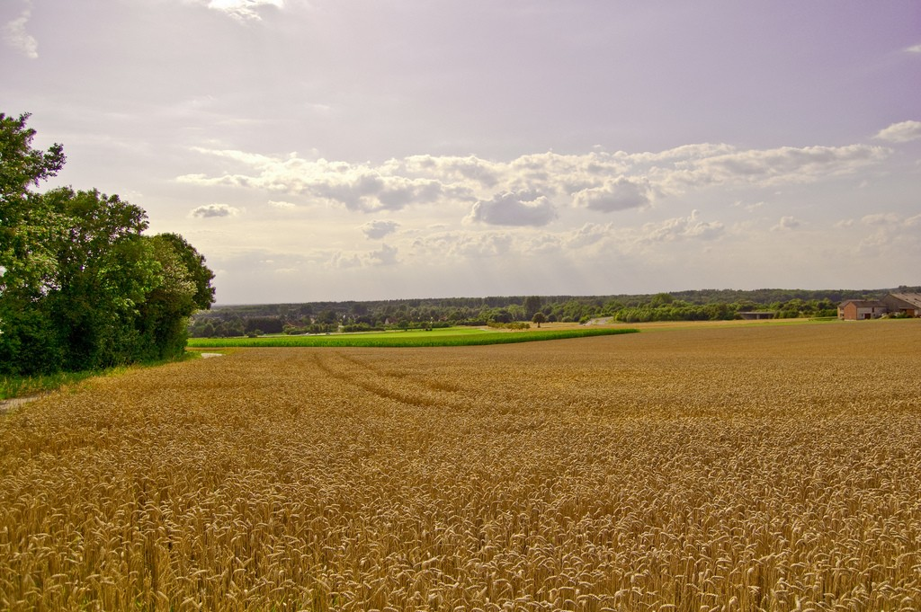 Wheat is one of the oldest genetically modified organisms. (Image: Robert Engmann).